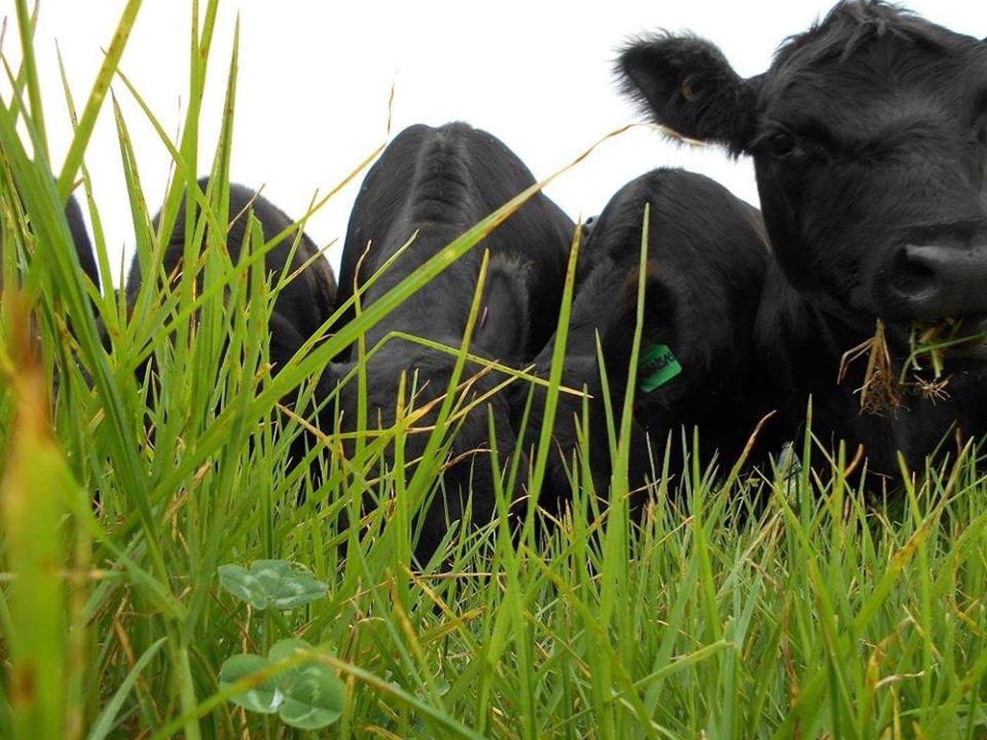 Eungella Beef & Cloudbreak Lowlines Cattle
